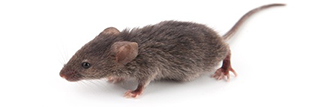 Mice, Rats, and Rodents